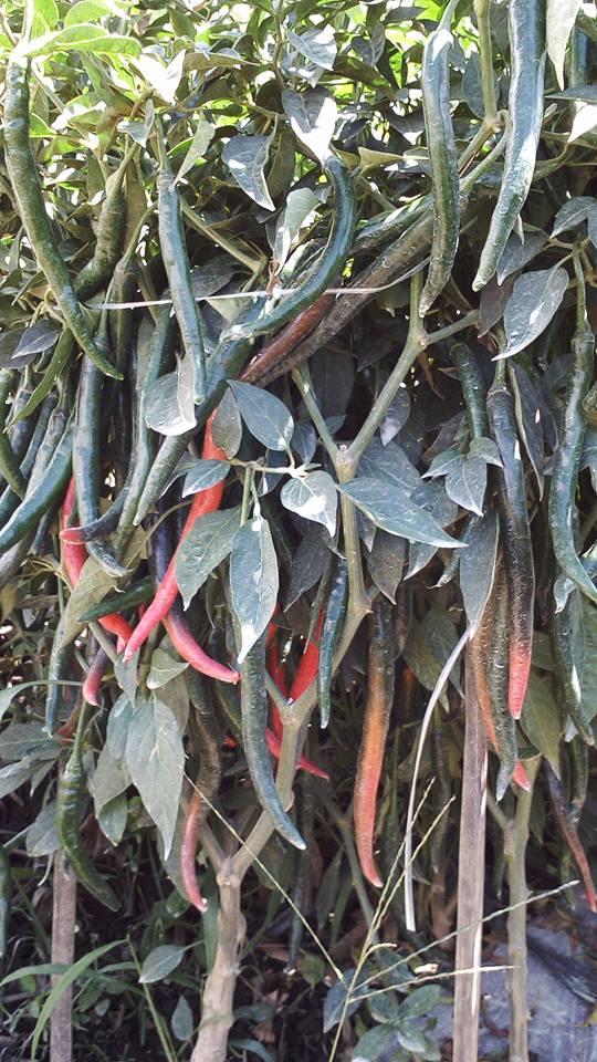 Pohon Cabai Berbuah Lebat