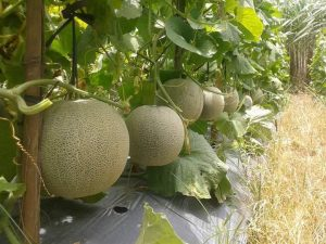 cara menanam melon agar berbuah lebat