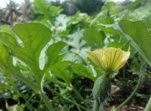 Munculnya Bunga Karena ada Pengaruh Hormon Auksin