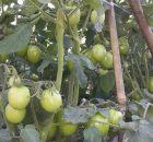 Tanaman Tomat Besar Berbuah Lebat