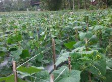 Tanaman Melon Tumbuh Subur Tanpa Gulma