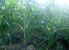Tanaman Jagung Dipenuhi Gulma dengan Sistem Tanpa Olah Tanah