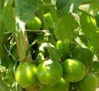 Tanaman Tomat Melakukan Fotosintesis untuk Menghasilkan Glukosa