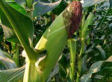 Tanaman jagung berbuah lebat dengan mulsa organik