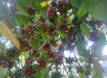 how to harvest coffe beans
