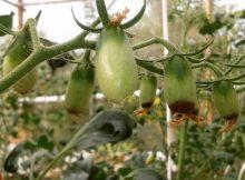 Penyakit Busuk Buah Pada Tomat Blossom Tomatto