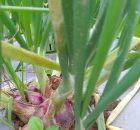 Shallot (Allium ascalonicum) is a type of season-y horticulture plant with high economic value. Although, sometimes production overflows, causing the sharp plummets of its price. The condition is made worse by government's import policy. To avoid price fluctuation that inflicts loss on farmers, there needs to be effort to farm shallot outside of its seasons. Shallot farming needs sun exposure for 12 hours a day. Shallot grows well on lowland at 0-900 m above sea level in 25-32 degree celcius temperature and pH 5.6-7 soil acidity. Here's the way to farm shallot as informed by farmers in Brebes, Central Java, one of the biggest shallot farming centers in Indonesia: Shallot seeds Seed varieties for shallot farming vary quite nicely. There are some local seeds and even hybrid imported seeds. Your seeds may be in the shape of actual seeds or tubers. Most farmers use tuber seeds. Good shallot seeds come from tubers that are harvested when they're old, more than 80 days old on lowland and 100 days old on highland. They also should have been stored for about 2-3 months. Their size should be about 1.5-2 cm, nicely shaped, dark red in color. The amount of seeds you need depends on the variety of your shallot, seed size, and planting distance. For example, for planting distance 20x20 with 5 gram tuber seed size, you need about 1.4 tons of seeds per hectare. For the same weight but smaller planting distance (15x15), you need about 2.4 tons per hectare. Soil processing and planting Make soil into seedbeds with width 1-1.2 m, height 20-30 cm, and length as needed. Distance between seedbeds should be 50 cm, and they should be made into channels about 50 cm deep. Hack your seedbeds about 20 cm deep and harrow it. Make sure to make the top surface of your seedbeds flat, not mounded. Add chalk or dolomite about 1-1.5 tons per hectare if your soil acidity is less than pH 5.6. Do this at least 2 weeks before planting. Use 15-20 compost or manure fertilizer as basic fertilizer. Scatter it on the seedbeds then mix well with the soil. You can also add 47 kg of urea, 100 kg of ZA, 311 kg of SP-36, and 56 kg of KCL per hectare. Mix those synthetic fertilizers well before you apply them. Do this at least one week before planting. Get your seeds ready. If your tuber seeds are less than two months old, cut off about 0.5 cm at the end of your tubers to break their dormant phase. Planting distance for shallots in dry season should be 15x15 cm while in rainy season should be 20x20 cm. Plant your seeds by burying them in soil entirely. Care and maintenance Watering should be done twice a day, in the morning and in the evening until 10 days old. After that, watering can be lessen to once a day. Follow-up fertilization is given after your crop is 2 weeks old. Mix together 93 kg of urea, 200 kg of ZA, and 112 kg of KCl per hectare. When your crop is 5 weeks old, mix together 47 kg or urea, 100 kg of ZA, and 56 kg of KCl per hectare. Fertilization is done by putting the mix in the channel next to the plants. Weeding is usually done twice in one season. To be more cost-efficient, weeding is usually done at the same time for follow-up fertilization. Weeding can be done sooner if needed, though. Pest and disease control Shallot farming is vulnerable to a lot of pests and diseases. The most famous threats are from caterpillars and wilting disease. Caterpillars (Spodoptera sp.) attack leaves, causing white specks on them. On a closer look, you can see little bites of caterpillars on them. Pest control is done by manually picking them off, including their eggs. You can also use the sex pheromone trap, about 40 pieces per hectare. If the attack increases with damage more than 5% per cluster, you can spray some insecticides with active ingredient chlorpyrifos. Fusarium wilting disease is caused by fungus. You can see them by the yellowing and curled leaves and rotting stem base. Control this by pulling out infected plants then burn them. You can also spray fungicides on them. Harvest If 60-70% of your shallot leaves have collapsed, then your shallot crop is ready for harvest. In case of tuber seeds, collapsed leaf rate should reach at least 90%. They're usually ready for harvest after 55-70 days since planting. Shallot productivity depends heavily on land condition, climate, weather, and variety. In Indonesia, shallot harvest productivity ranges from 3 to 12 tons per hectare with national average 9.47 tons per hectare. Harvested shallot tubers must be dried first. Drying can happen in 7-14 days with turning over every 2-3 days. Dried shallot has 85% water in it and is ready to store or sell.