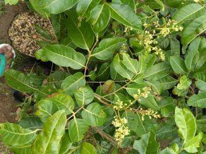 Pohon kelengkeng dalam pot telah berbunga