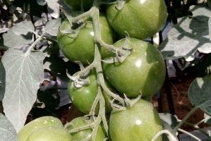 Hormones in Plants
