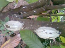 Pest Management of Cocoa Pod Borer in Agriculture