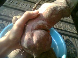 Sweet Potato Crops from Vegetative Method