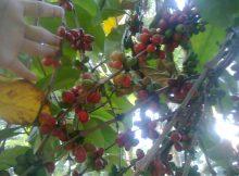 Daerah penghasil kopi terbesar di Indonesia