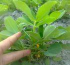 Bakteri Rhizobium bersimbiosis dengan bintil akar tanaman kacang-kacangan