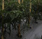 Tanaman Cabe Mulai Berbunga karena Terbebas Dari Gulma