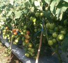 Produktivitas Tomat Tinggi karena Bebas Gulma