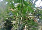 Daun pepaya sehat tanpa daun menguning