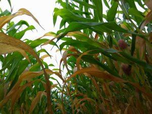 daun jagung menguning