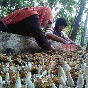 jamur bonggol jagung