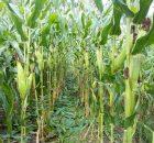 Lahan perkebunan jagung tidak terlalu ditumbuhi banyak gulma, hasil panen melimpah