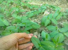 Tanaman kacang tunggak bebas dari gulma