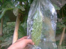 pembibitan benih