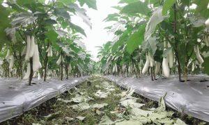 Tanaman terong berbuah lebat dengan struktur tanah baik