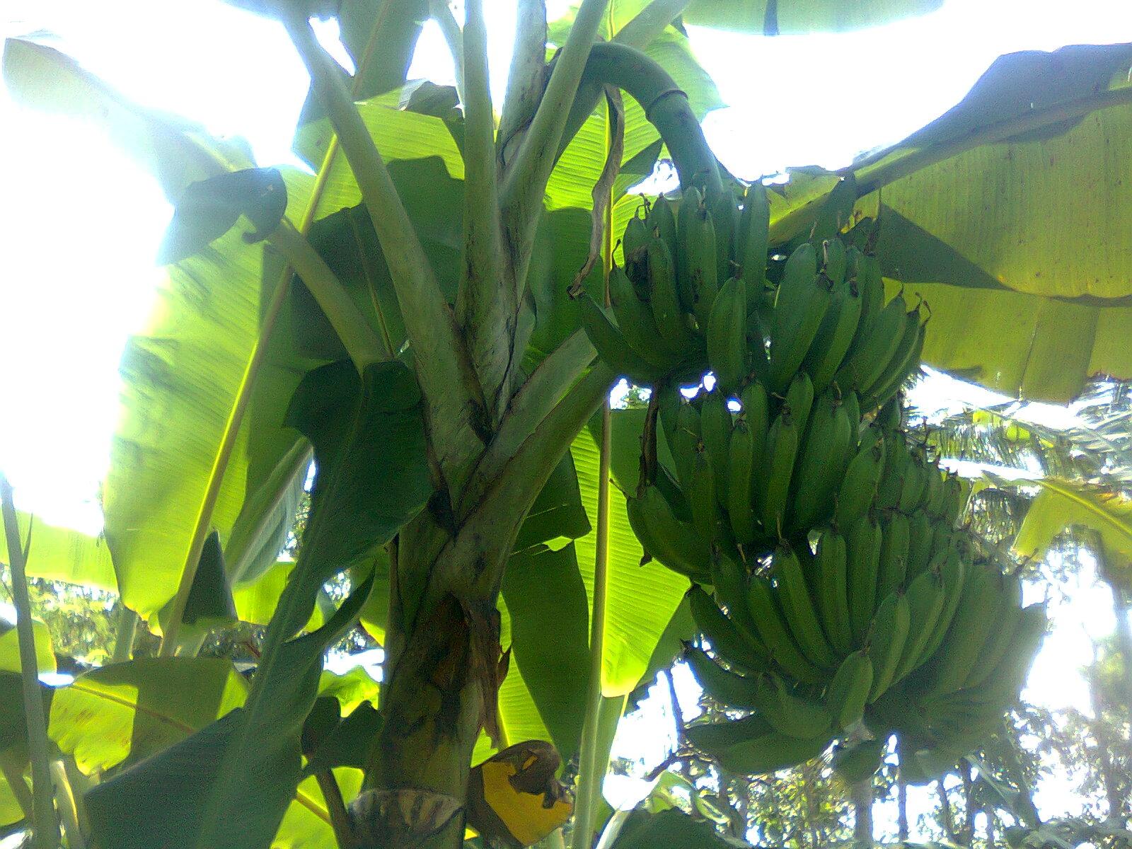 Pohon Pisang Telah Berbuah dalam Tandannya