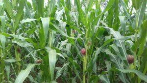 Pohon jagung sedang berbuah