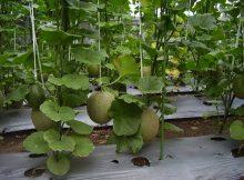 Melon berbuah lebat