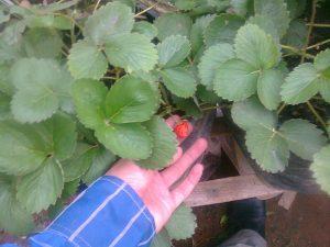 Tanaman Strawberry