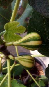 Pohon Tin