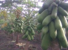 Pohon Pepaya Berbuah