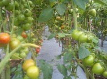 Tomat Rampai