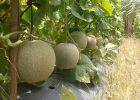 Cara Agar Pohon Melon Berbuah Lebat
