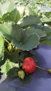 Tanaman Strawberry Subur