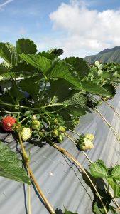 Tanaman Strawberry di Lahan Terbuka Bermulsa