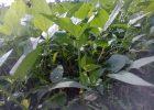 Bakteri Rhizobium pada akar tanaman kacang-kacangan