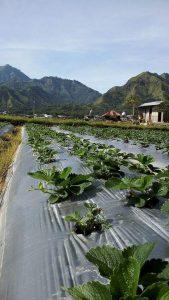 Tanaman Stroberi di Lahan Bedengan Bermulsa