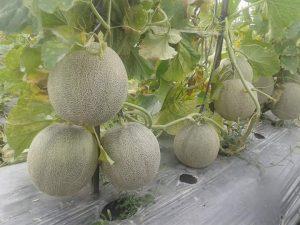 Tanaman Melon Berbuah Lebat