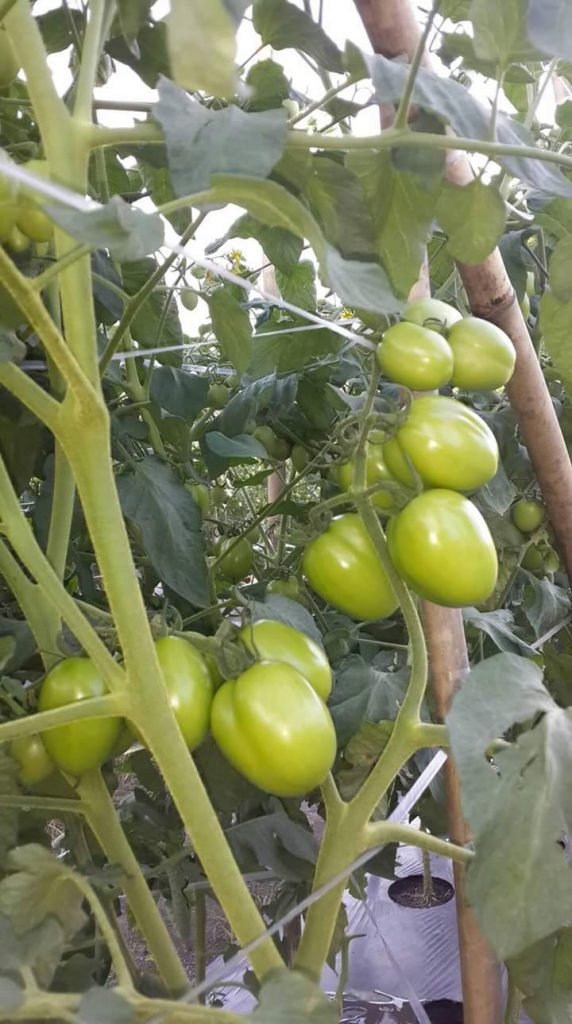Tanaman Tomat Berbuah Lebat