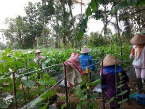 Petani sedang memberi tiang ajir dan penyiangan gulma