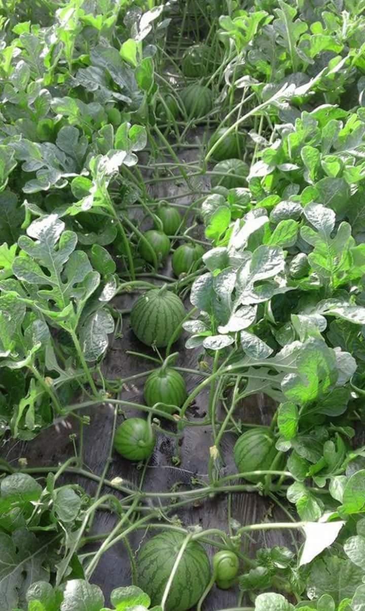 10 Manfaat Dan Cara Penggunaan Em4 Untuk Kesuburan Tanah Dan Tanaman Pertanian Tips Petani