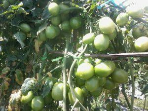 Tanaman Tomat Tumbuh Subur Berbuah Lebat Terbebas dari Gulma