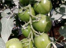 Tanaman Tomat Berbuah Lebat Karena Terbebas Gulma