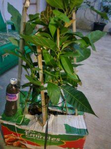 packing bibit tanaman cangkok