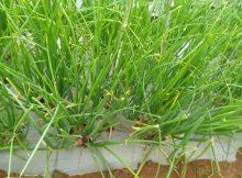 Shallot/Onion (Allium ascalonicum) Farming 101