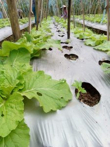 How to Farm Organic Curly Lettuce