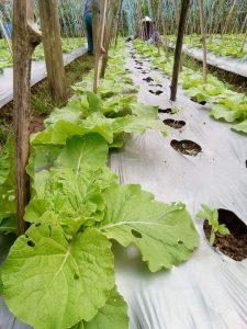 Selada keriting organik
