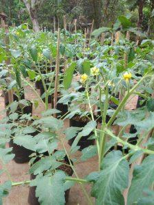 Currant Tomato Seedlings