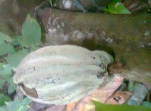 Buah kakao rentan terserang hama penggerek buah kakao